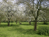 Image: A traditional English orchard