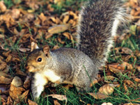 Image: The grey squirrel - one of British wildlife's alien invaders